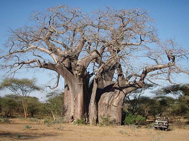 Zimbabwe Boaba Tree with Jeep
