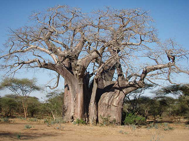 Zimbabwe Boaba Tree without Jeep