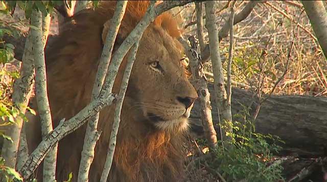 Birmingham Male Lion Screen Shot Image